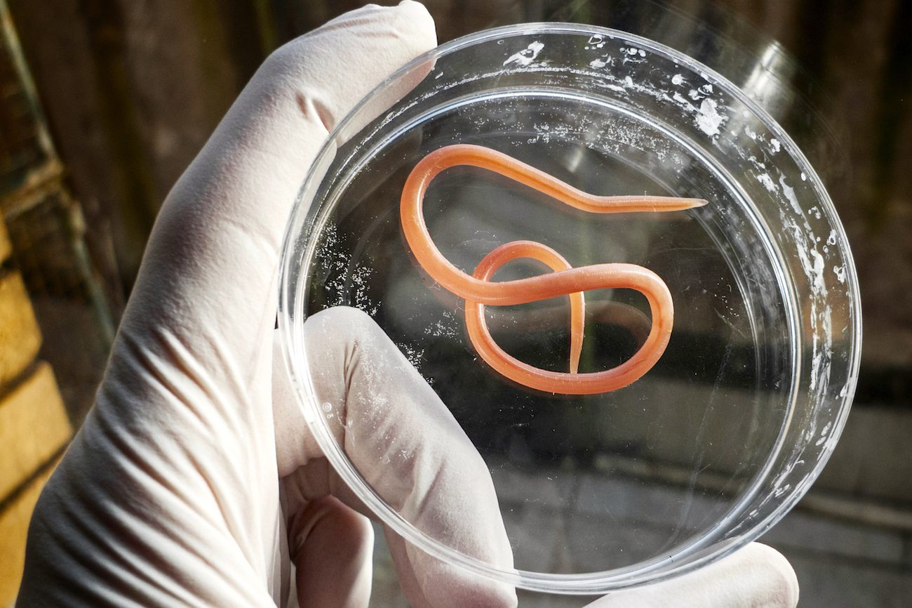 In Germany may allow to treat the disease parasitic worms