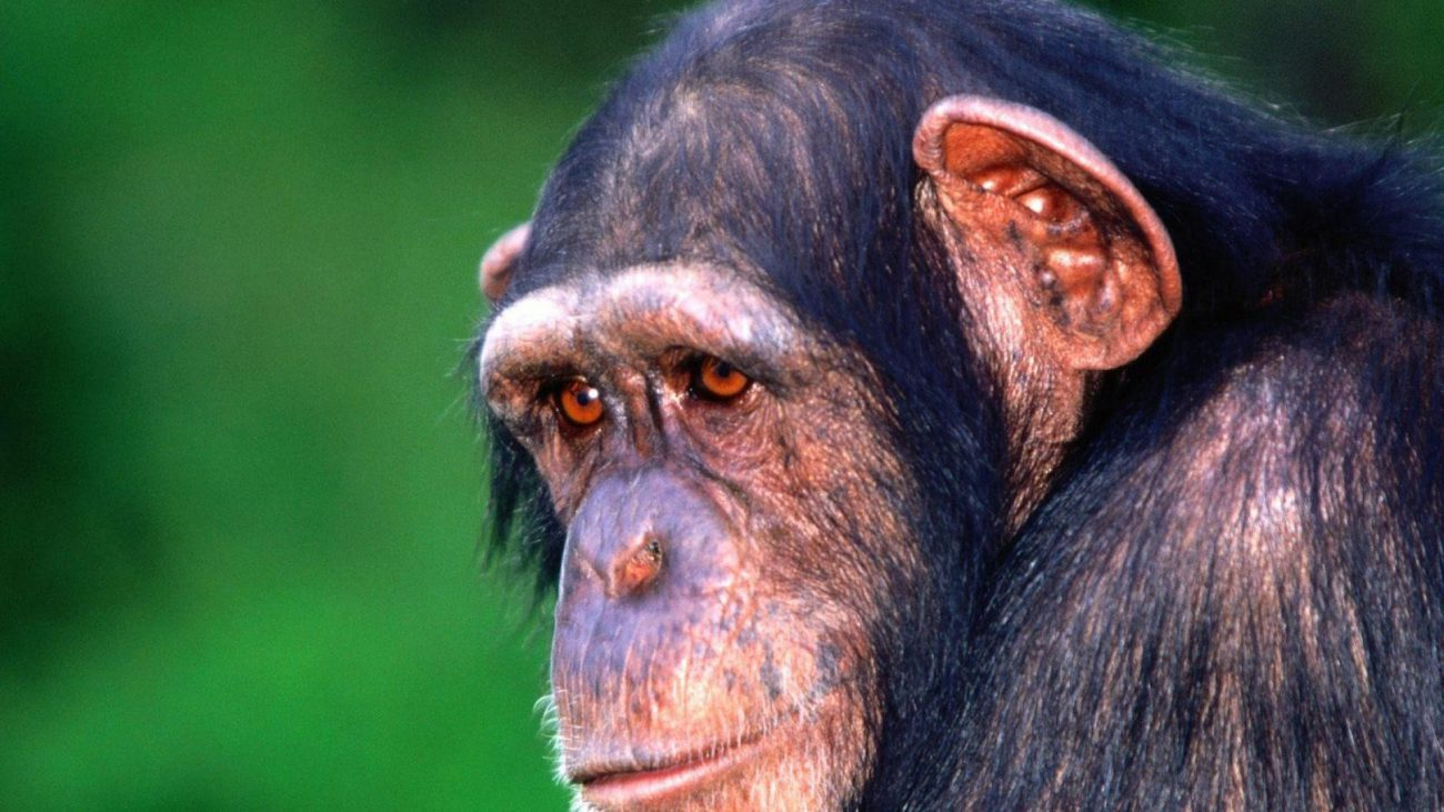 Alzheimer's is a disease found in chimpanzees