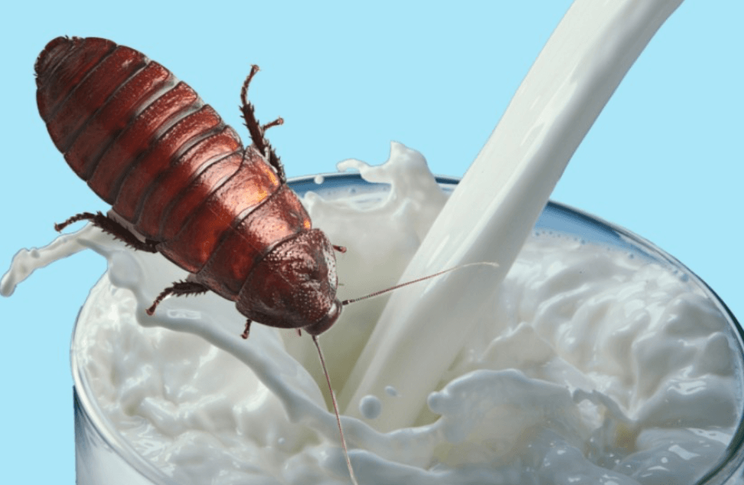 Cockroach milk — food for the future?