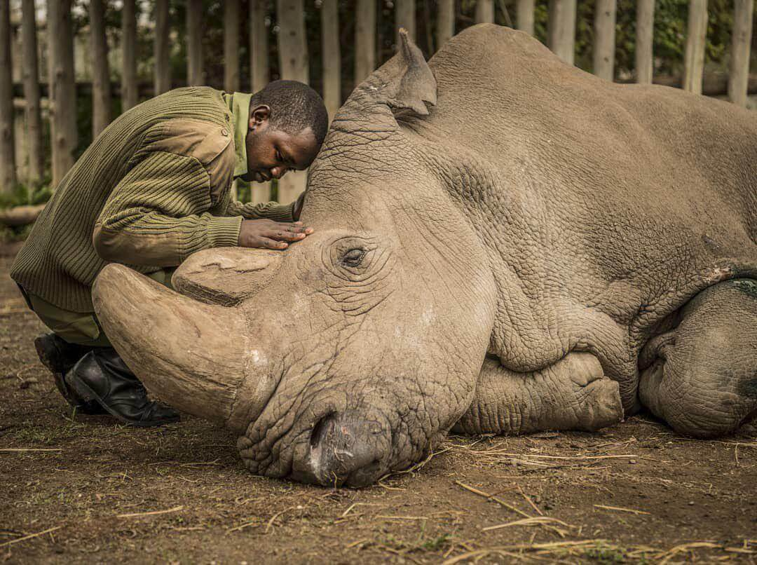 Can a clone of white Rhino to save a species from extinction?