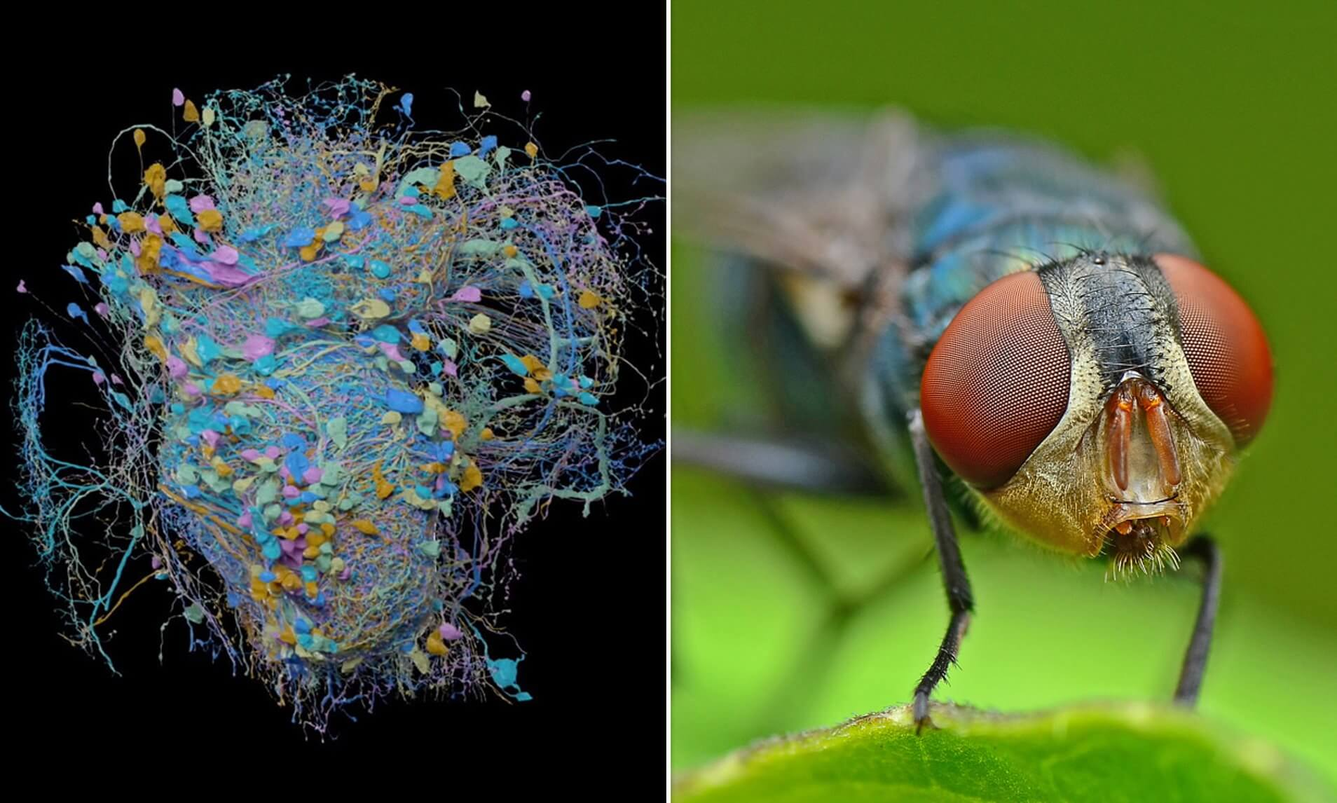 #video | Scientists have created a detailed 3D map of the brain of the fruit fly