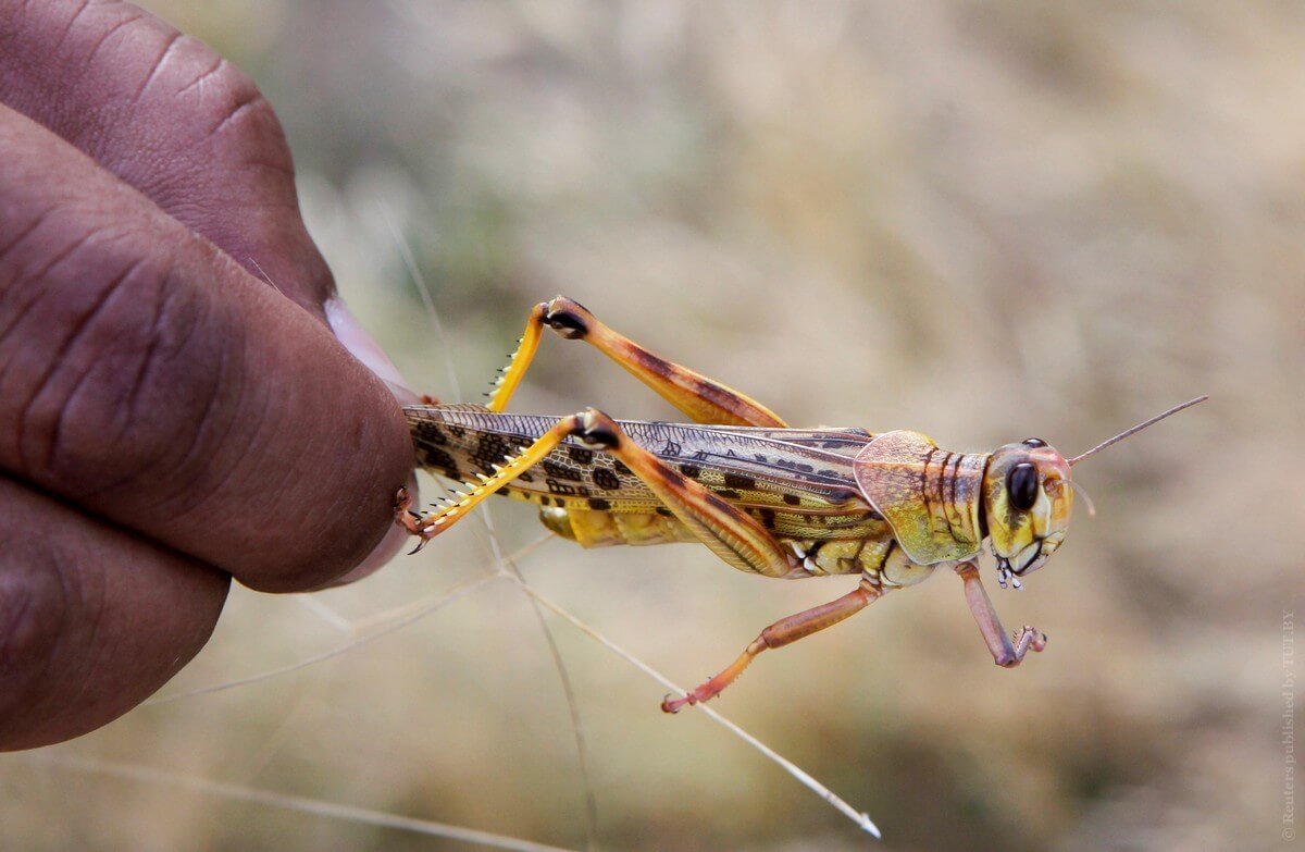 In Africa is the largest in 25 years the locust invasion. What will be the consequences?