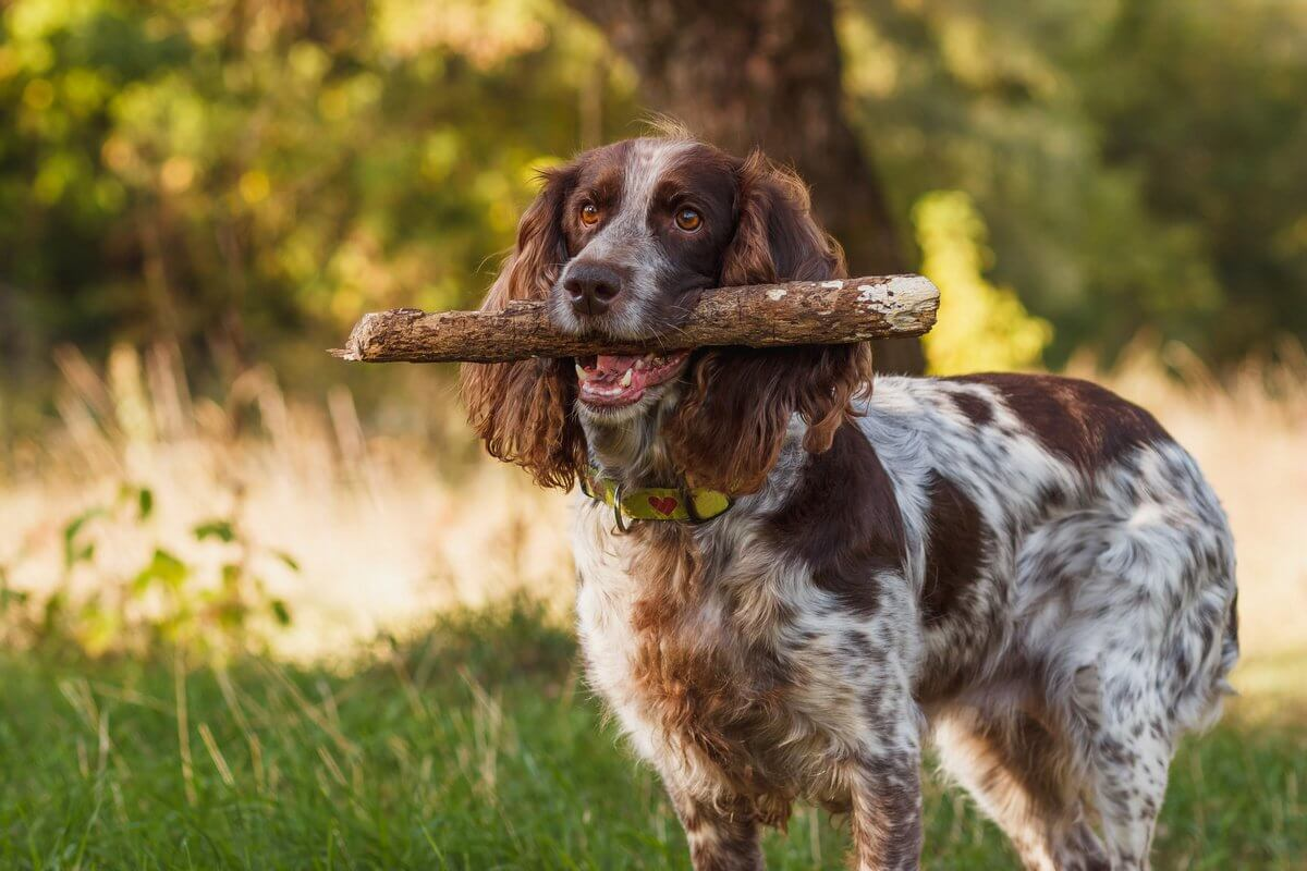 Can dogs identify coronavirus smell?