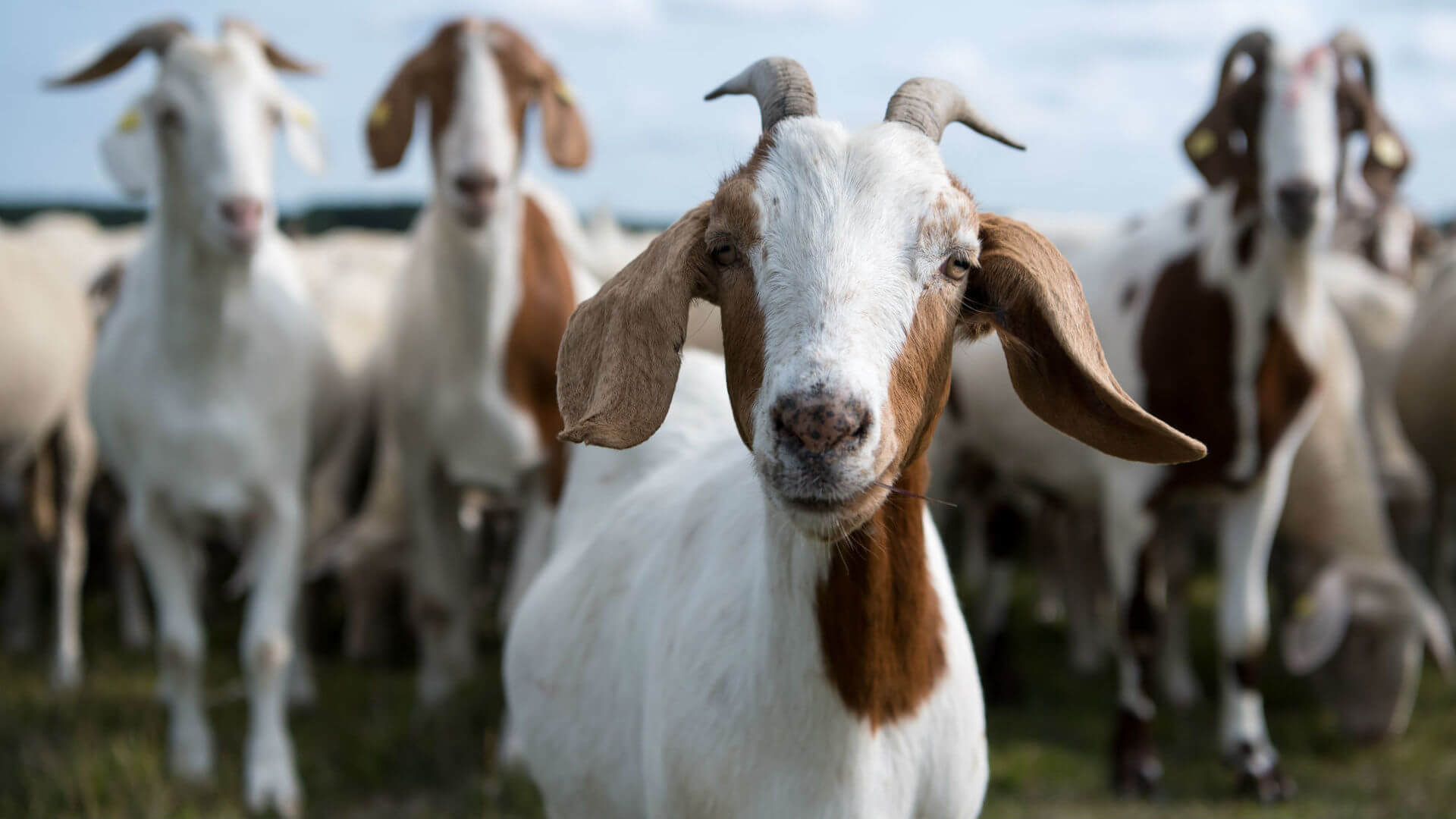 As unusual goat milk can help in cancer treatment?