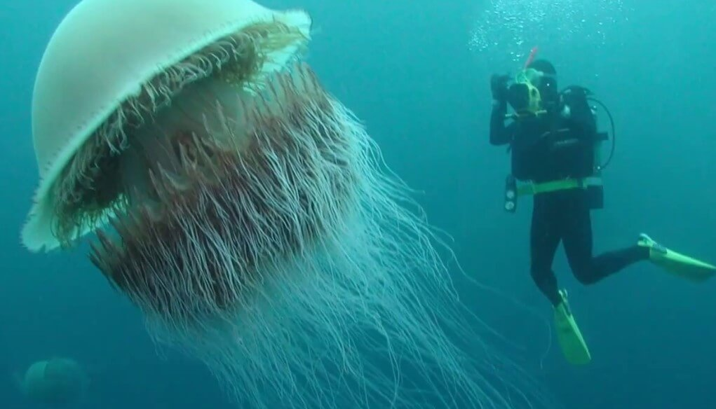 How does the biggest jellyfish and how it is dangerous?