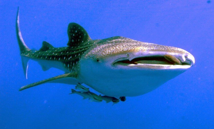 In the eyes of whale sharks discovered teeth