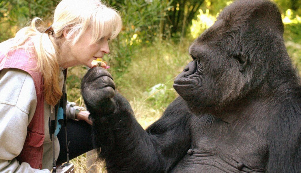 Between gorillas and people found another thing in common