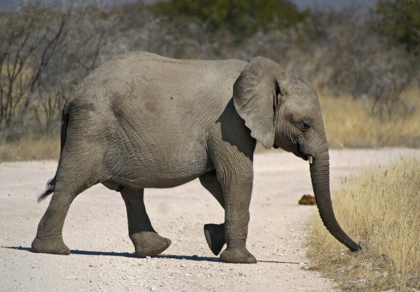 In Africa, elephants continue to die. Scientists already suspect why