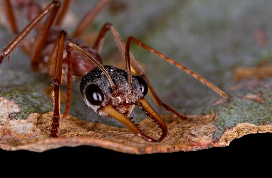 The most dangerous ants: where they live, and how painful bite?